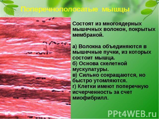 Поперечнополосатые мышцыСостоят из многоядерных мышечных волокон, покрытых мембраной.а) Волокна объединяются в мышечные пучки, из которых состоит мышца.б) Основа скелетной мускулатуры.в) Сильно сокращаются, но быстро утомляются.г) Клетки имеют попер…