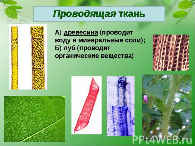 Проводящая тканьА) древесина (проводит воду и минеральные соли);Б) луб (проводит органические вещества)