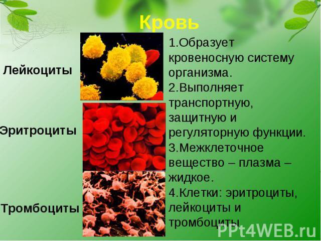 Кровь1.Образует кровеносную систему организма.2.Выполняет транспортную, защитную и регуляторную функции.3.Межклеточное вещество – плазма – жидкое.4.Клетки: эритроциты, лейкоциты и тромбоциты