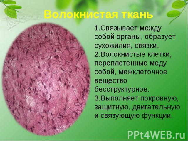 Волокнистая ткань1.Связывает между собой органы, образует сухожилия, связки.2.Волокнистые клетки, переплетенные меду собой, межклеточное вещество бесструктурное.3.Выполняет покровную, защитную, двигательную и связующую функции.