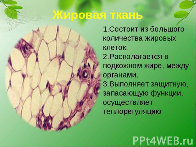 Жировая ткань1.Состоит из большого количества жировых клеток.2.Располагается в подкожном жире, между органами.3.Выполняет защитную, запасающую функции, осуществляет теплорегуляцию