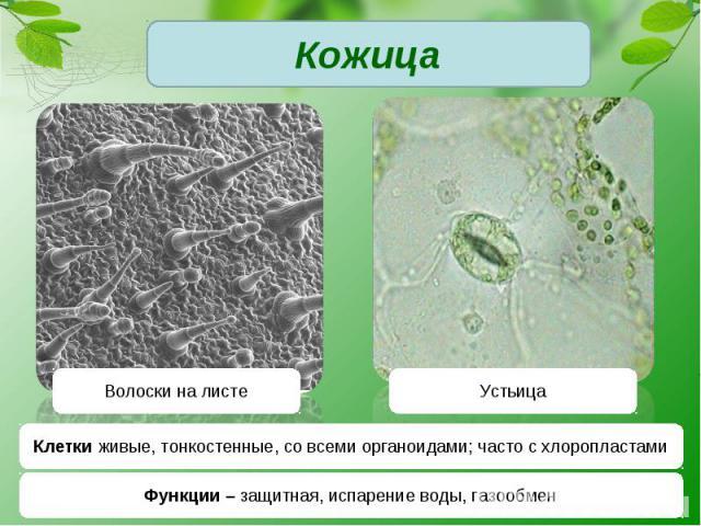 КожицаКлетки живые, тонкостенные, со всеми органоидами; часто с хлоропластамиФункции – защитная, испарение воды, газообмен