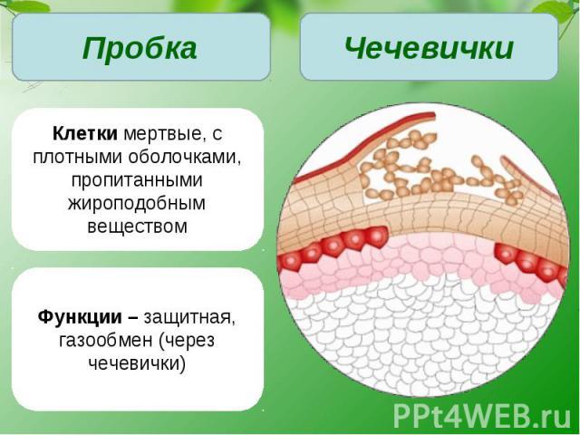Клетки мертвые, с плотными оболочками, пропитанными жироподобным веществомФункции – защитная, газообмен (через чечевички)