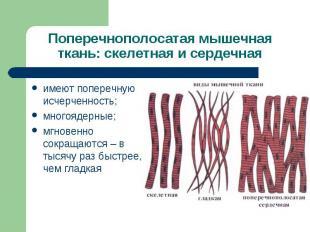 Поперечнополосатая мышечная ткань: скелетная и сердечнаяимеют поперечную исчерче