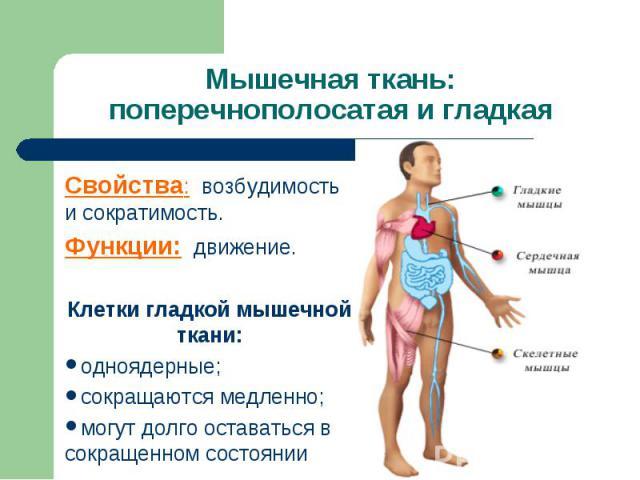 Мышечная ткань: поперечнополосатая и гладкаяСвойства: возбудимость и сократимость.Функции: движение.Клетки гладкой мышечной ткани:одноядерные;сокращаются медленно;могут долго оставаться в сокращенном состоянии