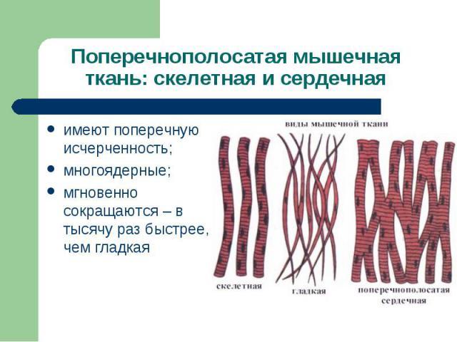 Поперечнополосатая мышечная ткань: скелетная и сердечнаяимеют поперечную исчерченность;многоядерные;мгновенно сокращаются – в тысячу раз быстрее, чем гладкая