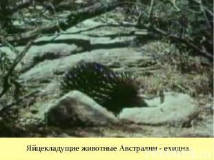Яйцекладущие животные Австралии - ехидна.