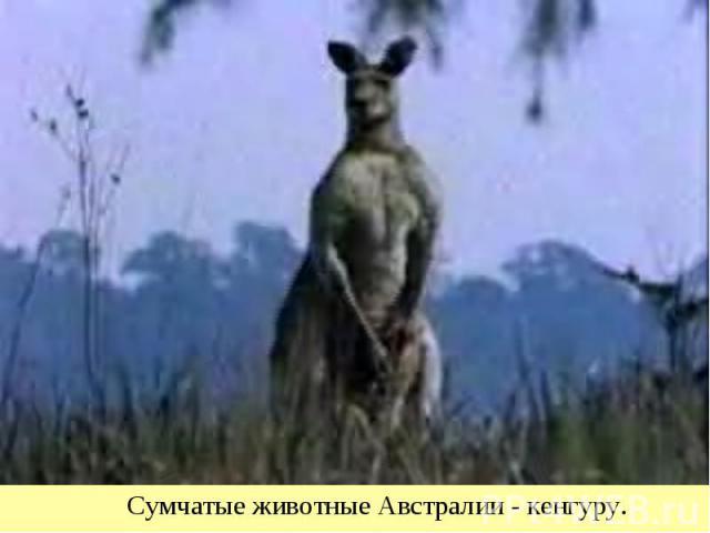 Сумчатые животные Австралии - кенгуру.