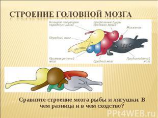 Строение головной мозгаСравните строение мозга рыбы и лягушки. В чем разница и в
