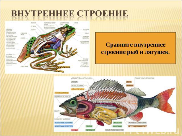 Внутреннее строениеСравните внутреннеестроение рыб и лягушек.