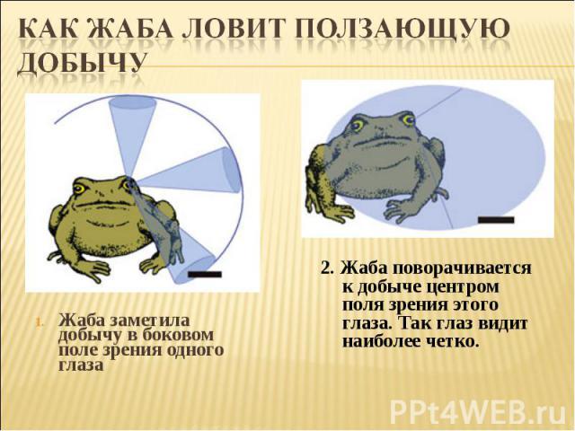 Как жаба ловит ползающую добычуЖаба заметила добычу вбоковом поле зрения одного глаза 2. Жаба поворачивается кдобыче центром поля зрения этого глаза. Так глаз видит наиболее четко.