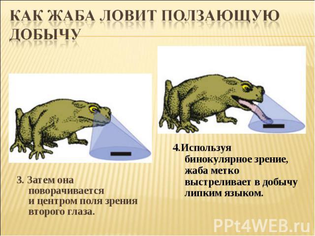 Как жаба ловит ползающую добычу3. Затем она поворачивается ицентром поля зрения второго глаза. 4.Используя бинокулярное зрение, жаба метко выстреливает в добычу липким языком.