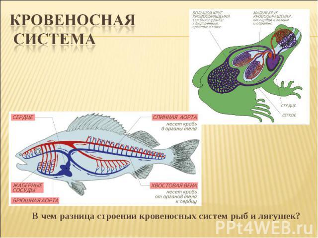 Кровеносная системаВ чем разница строении кровеносных систем рыб и лягушек?