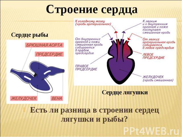 Строение сердцаСердце рыбыЕсть ли разница в строении сердец лягушки и рыбы?
