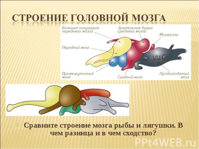 Строение головной мозгаСравните строение мозга рыбы и лягушки. В чем разница и в чем сходство?