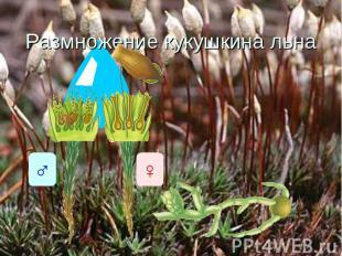 Размножение кукушкина льна