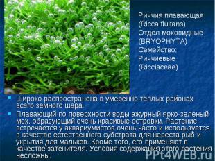 Риччия плавающая (Ricca fluitans)Отдел моховидные (BRYOPHYTA) Семейство: Риччиев