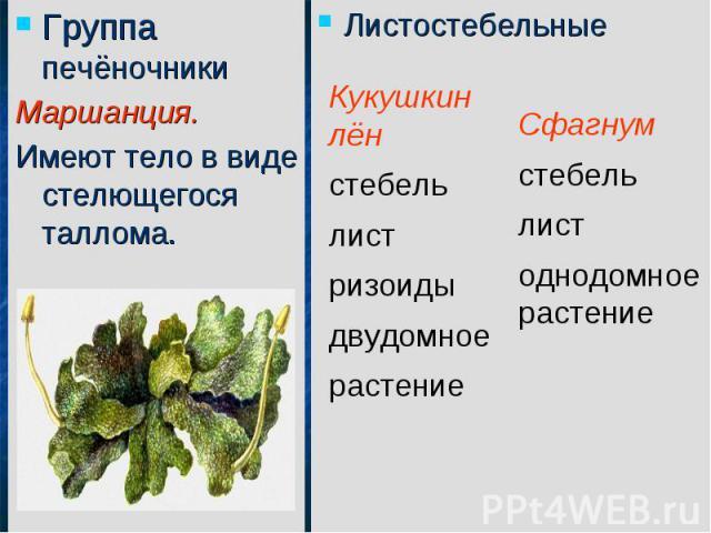 Группа печёночникиМаршанция.Имеют тело в виде стелющегося таллома.Листостебельные Кукушкин лёнстебельлистризоидыдвудомное растениеСфагнум стебельлистоднодомное растение