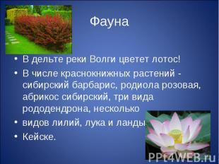 ФаунаВ дельте реки Волги цветет лотос! В числе краснокнижных растений - сибирски