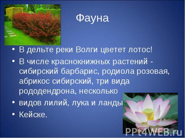 ФаунаВ дельте реки Волги цветет лотос! В числе краснокнижных растений - сибирский барбарис, родиола розовая, абрикос сибирский, три вида рододендрона, нескольковидов лилий, лука и ландыш Кейске.