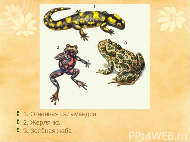 1. Огненная саламандра2. Жерлянка3. Зелёная жаба