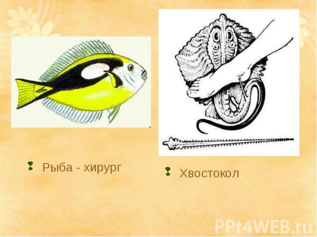 Хвостокол Рыба - хирург