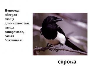 Непоседа пёстрая птица длиннохвостая,птица говорливая,самая болтливая.сорока