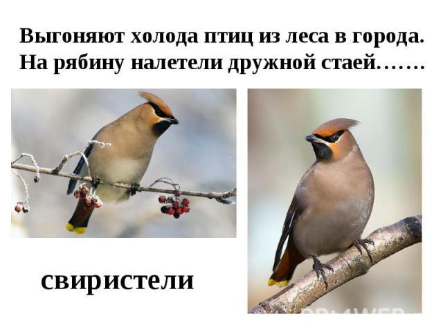 Выгоняют холода птиц из леса в города.На рябину налетели дружной стаей…….свиристели