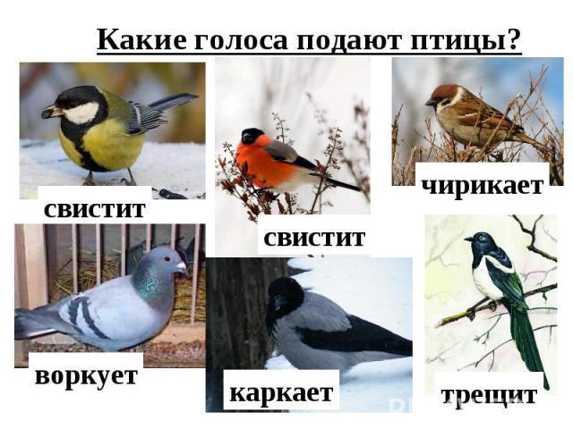Какие голоса подают птицы?