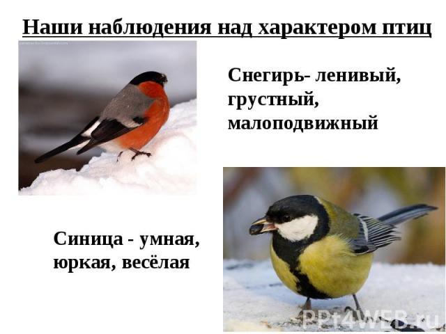 Наши наблюдения над характером птицСнегирь- ленивый,грустный, малоподвижный Синица - умная,юркая, весёлая