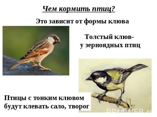 Чем кормить птиц?Это зависит от формы клюваТолстый клюв- у зерноядных птицПтицы с тонким клювомбудут клевать сало, творог