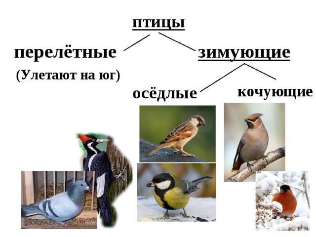 птицыперелётные зимующие