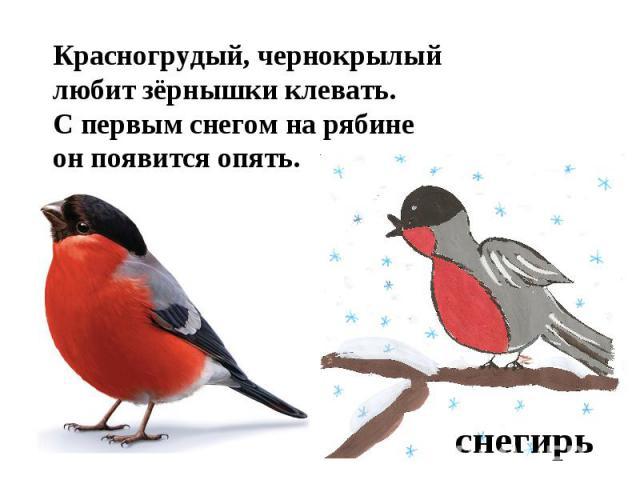 Красногрудый, чернокрылыйлюбит зёрнышки клевать.С первым снегом на рябинеон появится опять.снегирь