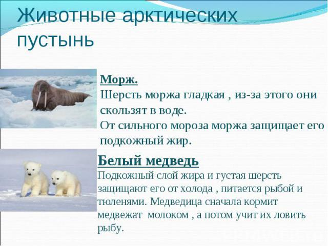 Животные арктических пустыньМорж. Шерсть моржа гладкая , из-за этого они скользят в воде. От сильного мороза моржа защищает его подкожный жир.Белый медведьПодкожный слой жира и густая шерсть защищают его от холода , питается рыбой и тюленями. Медвед…