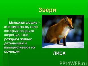 Звери Млекопитающие – это животные, тело которых покрыто шерстью. Они рождают жи