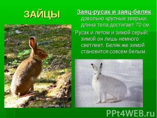 ЗАЙЦЫ Заяц-русак и заяц-беляк довольно крупные зверьки, длина тела достигает 70