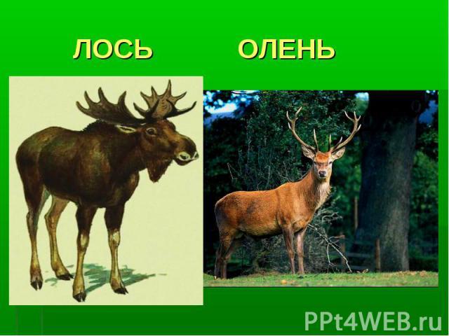 ЛОСЬ ОЛЕНЬ