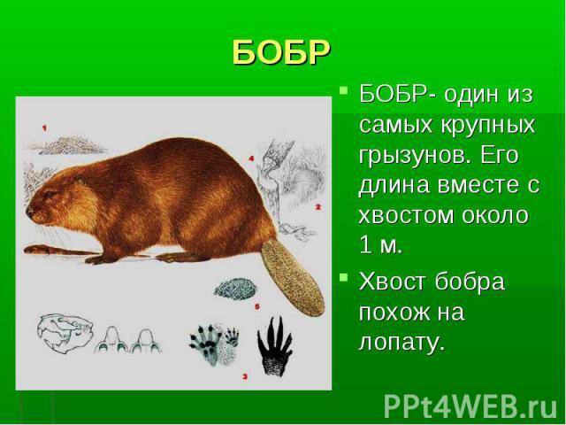 БОБРБОБР- один из самых крупных грызунов. Его длина вместе с хвостом около 1 м. Хвост бобра похож на лопату.