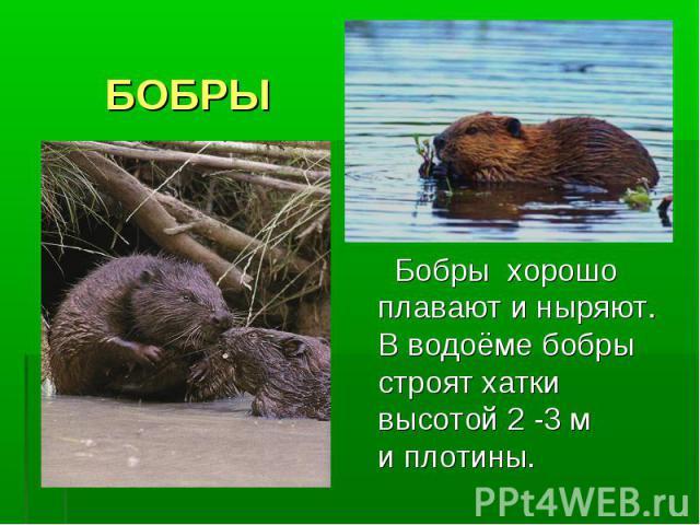 БОБРЫ Бобры хорошо плавают и ныряют. В водоёме бобры строят хатки высотой 2 -3 м и плотины.