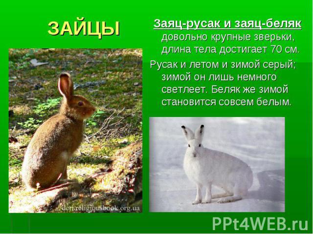 ЗАЙЦЫ Заяц-русак и заяц-беляк довольно крупные зверьки, длина тела достигает 70 см. Русак и летом и зимой серый; зимой он лишь немного светлеет. Беляк же зимой становится совсем белым.