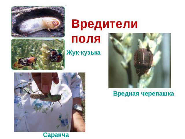 Вредители поляЖук-кузькаВредная черепашка