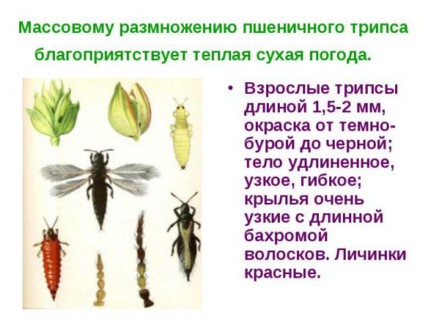 Массовому размножению пшеничного трипса благоприятствует теплая сухая погода. Взрослые трипсы длиной 1,5-2 мм, окраска от темно-бурой до черной; тело удлиненное, узкое, гибкое; крылья очень узкие с длинной бахромой волосков. Личинки красные.