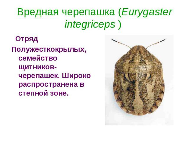 Вредная черепашка (Eurygaster integriceps )  ОтрядПолужесткокрылых, семейство щитников-черепашек. Широко распространена в степной зоне.