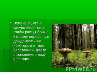 Замечено, что в засушливое лето грибы растут ближе к стволу дерева, а в дождливо