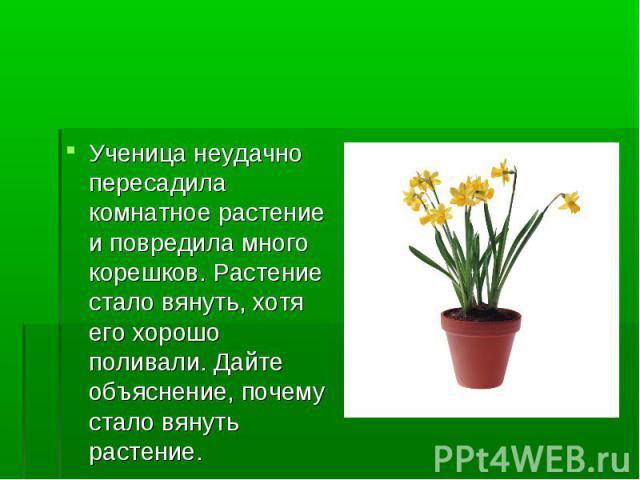 Ученица неудачно пересадила комнатное растение и повредила много корешков. Растение стало вянуть, хотя его хорошо поливали. Дайте объяснение, почему стало вянуть растение.