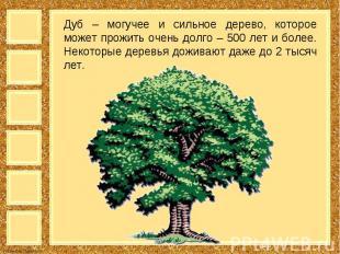 Дуб – могучее и сильное дерево, которое может прожить очень долго – 500 лет и бо