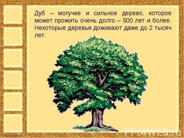Дуб – могучее и сильное дерево, которое может прожить очень долго – 500 лет и более. Некоторые деревья доживают даже до 2 тысяч лет.