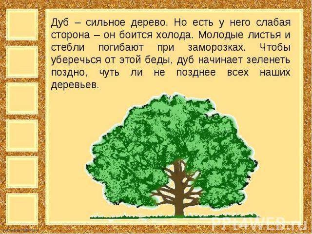 Дуб – сильное дерево. Но есть у него слабая сторона – он боится холода. Молодые листья и стебли погибают при заморозках. Чтобы уберечься от этой беды, дуб начинает зеленеть поздно, чуть ли не позднее всех наших деревьев.