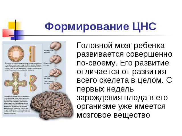 Формирование ЦНСГоловной мозг ребенка развивается совершенно по-своему. Его развитие отличается от развития всего скелета в целом. С первых недель зарождения плода в его организме уже имеется мозговое вещество