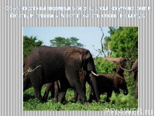 Обычно слоны передвигаются шагом, но умеют они и бегать, и плавать. А вот прыгат
